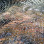Der Tomatenfisch in seinem Becken